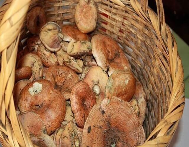 Guiso de níscalos con patatas